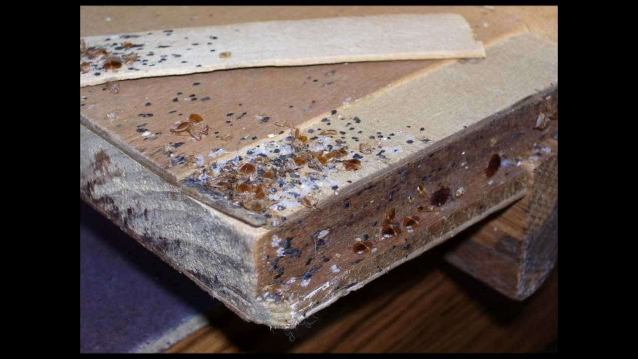 How To Get Rid Of Bed Bugs Yourself The Housing Forum