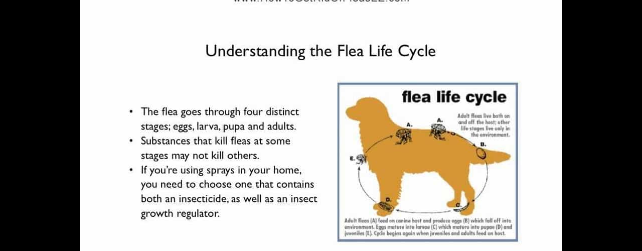 How To Get Rid Of Fleas In Your House The Housing Forum