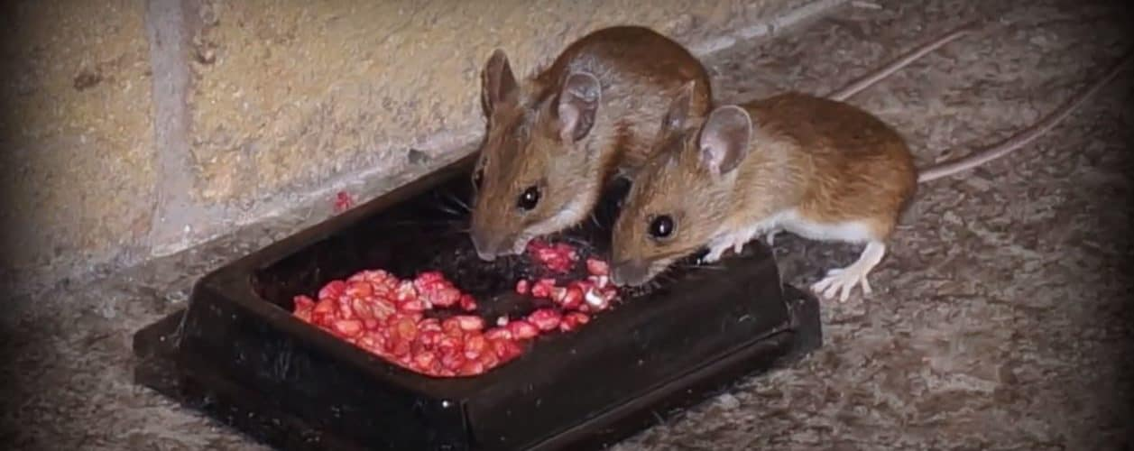 How To Get Rid Of Rats In The Attic The Housing Forum