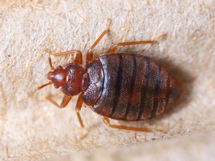 Cimex Hemipterus (bedbug) on corrugated recycle paper