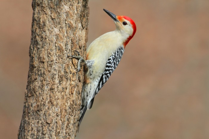 Male Red-bellied Woodpecker (Melanerpes carolinus) on a Tree