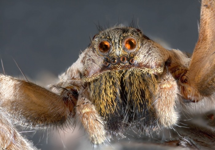 Ultra Macro Shoot of Wolf Jumping Spider