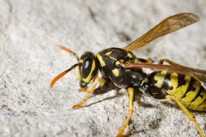 Wasp on Rock in Spain