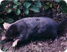 Yard Mole